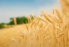 Grain field Royalty Free Stock Images