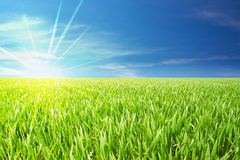 Grain field. A grain field with sun beams over the field with a nice blue sky in back Stock Images
