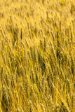Grain field Royalty Free Stock Photography