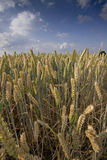 Grain field. A grain field with blue sky and clouds royalty free stock photography