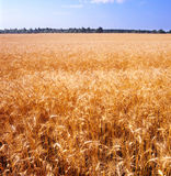Grain field. Yellow grain field ready for harvest. Ukraine Royalty Free Stock Photo