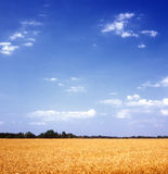 Grain field. Yellow grain field and blue sky. Ukraine Stock Photo