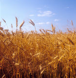 Grain field. Yellow grain field ready for harvest. Ukraine Royalty Free Stock Image