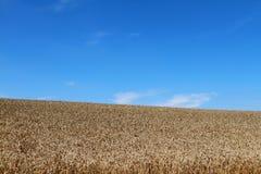 Grain field. On a golden wheat field growing under blue sky royalty free stock photo