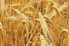 Grain field. Gold agriculture grain field details Royalty Free Stock Image