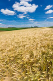 Grain Field. During summer in Luxembourg Royalty Free Stock Image