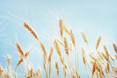 Grain field. Yellow grain ready for harvest growing in a farm field Stock Photography