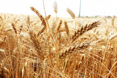 Grain field. Golden wheat field on the countryside, agriculture industry stock images