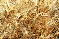 Grain field. Golden wheat field on the countryside, agriculture industry royalty free stock photo