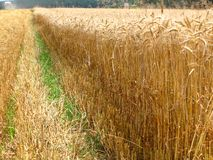 Grain field Royalty Free Stock Image