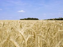 Grain field 4 Stock Images