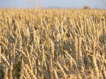Grain field. Heads of wheat in a crop ready for harvest Royalty Free Stock Images