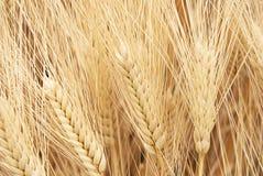 Free Grain Field Stock Image - 5225491