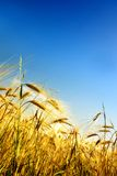 Grain field. Field of grain in a sunny summer day with a blue sky above Royalty Free Stock Images