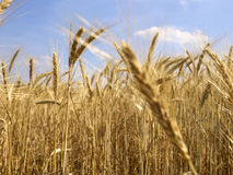 Grain field 7 Stock Images
