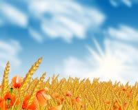 Free Grain Field Stock Photography - 8357152