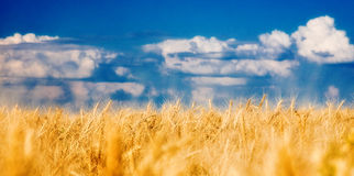 Grain field. Grain ears, against the sky Stock Photo
