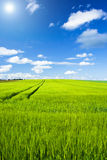 Grain field. With blue sky and clouds Stock Image