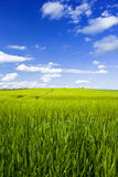 Grain field. With blue sky and clouds Royalty Free Stock Images