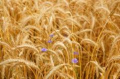 Free Grain Field Royalty Free Stock Image - 96860926
