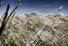 In grain field Stock Photography
