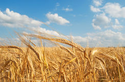 Grain field. Agriculture: golden grain field and sky stock photos