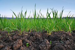 Grain seedlings agriculture Royalty Free Stock Photo