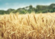 Grain field background Royalty Free Stock Photo