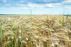 Grain field in Bavaria, Germany Royalty Free Stock Photos