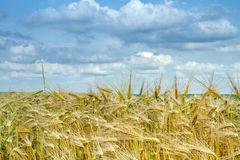 Grain field in Bavaria, Germany Stock Photography
