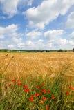 Grain field in Bavaria, Germany Royalty Free Stock Photography