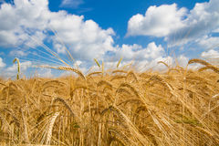 Grain field in Bavaria, Germany Royalty Free Stock Photo