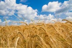 Grain field in Bavaria, Germany Royalty Free Stock Photo