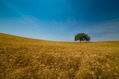 Grain field gold wheat panorama Stock Photography