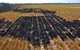Black burned sturgeon and remnants of grain harvesting. On the grain field, black burned stubble and remnants after harvest Stock Photo