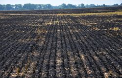 Black burned sturgeon and remnants of grain harvesting. On the grain field, black burned stubble and remnants after harvest Royalty Free Stock Photography