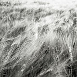 Grain field. Black and white grain field Royalty Free Stock Image
