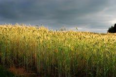 Grain field Stock Photos
