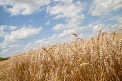Grain field Stock Image