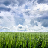 Grain Field with Cloudy Sky Close up Royalty Free Stock Photos