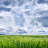 Grain Field with Cloudy Sky Royalty Free Stock Photography