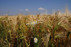 Grain field with daisy. Grainf ield with dark blue sky and daisy in front Royalty Free Stock Image