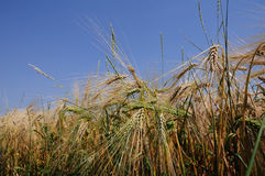 Grain field. With dark blue sky Royalty Free Stock Images