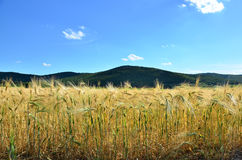 Grain field. Stock Photo