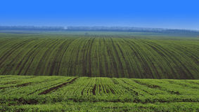 Grain field early spring. Land under crop. Panorama of cultivated field with rows of cultivated plants in perspective Stock Photos