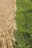 Grain field. Stock Images