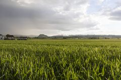 Grain field glows in the sunlight after a heavy thunderstorm. In Switzerland Stock Photography