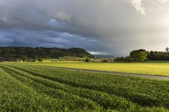 Grain field glows in the sunlight after a heavy thunderstorm. In Switzerland Stock Image