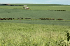 Grain field. Green fields in the height of summer Royalty Free Stock Image