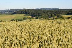 Grain field Royalty Free Stock Photos